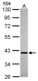 GTX115902 - GMPPB