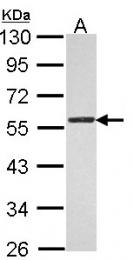 GTX116035 - Thrombin receptor / F2R