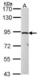 GTX116068 - TAS1R1 / GPR70