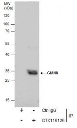 GTX116125 - Geminin