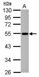 GTX116144 - Dynactin subunit 4