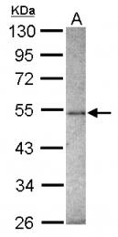 GTX116215 - ZNF213