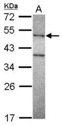 GTX116332 - DNA polymerase mu