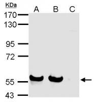 GTX116337 - CD328 / SIGLEC7
