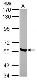 GTX116384 - AMIGO1 / ALI2