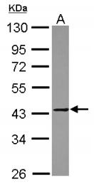 GTX116474 - MMP-23