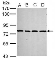 GTX116525 - PCDHA2