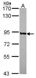 GTX116542 - PNPT1