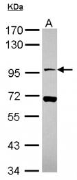 GTX116674 - Neuroligin X