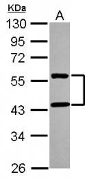 GTX116813 - MMP-28