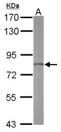GTX116827 - RPAP3