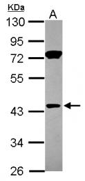GTX116841 - Gasdermin-D