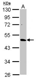 GTX117120 - CYP3A43