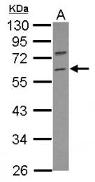 GTX117303 - TRIM69 / RNF36