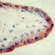 GTX11733 - Apolipoprotein E / Apo E