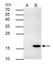 GTX117355 - 4-1BBL / TNFSF9
