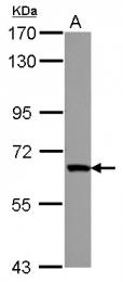 GTX117416 - ZNF543