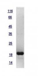 GTX117527-pro - Histone H3.2