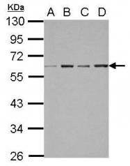 GTX117553 - NR1H4 / FXR