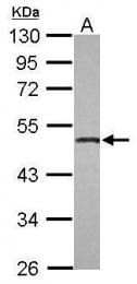 GTX117635 - Osteomodulin