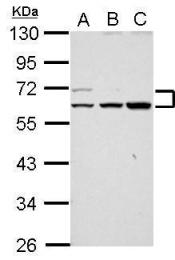 GTX117673 - RAPGEFL1