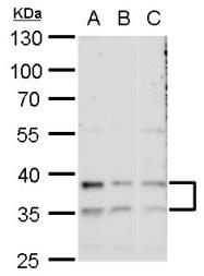 GTX117687 - Galectin-8
