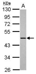 GTX117772 - ADAMTSL1