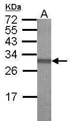 GTX117817 - PCDHB16