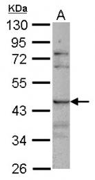 GTX117827 - CD329 / SIGLEC8