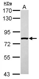 GTX117943 - SLC4A1AP / HLC3