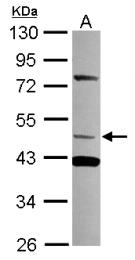 GTX117947 - TRIM15 / RNF93