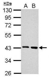 GTX118048 - Arginase-2