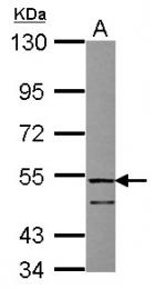 GTX118133 - Follistatin-related protein 1