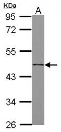 GTX118134 - Follistatin-related protein 1