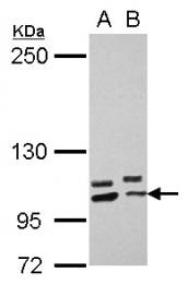 GTX118171 - PCDHA10