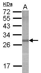 GTX118173 - PCDHA5
