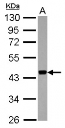GTX118217 - APOBEC3F