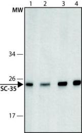 GTX11826 - SFRS2 / SC-35