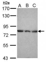 GTX118330 - Epsin-2