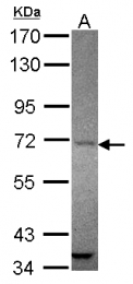 GTX118474 - Angiomotin