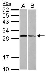 GTX118549 - Syntaxin 3 / STX3