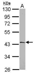 GTX118555 - EFHA1