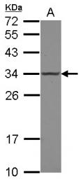 GTX118715 - POLR2C