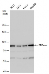 GTX118737 - PNPT1