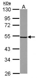 GTX118843 - Synaptotagmin-6