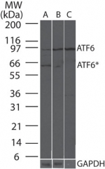 GTX11909 - ATF6 alpha