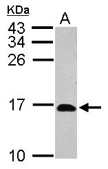 GTX119107 - Ribonuclease UK114 / HRSP12