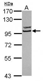 GTX119145 - Striatin-3 / SG2NA