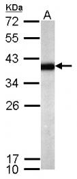 GTX119230 - Sprouty homolog 4 / SPRY4