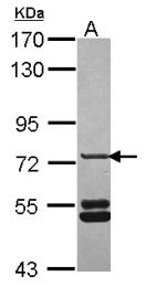 GTX119295 - Sorting nexin-33 (SNX33)